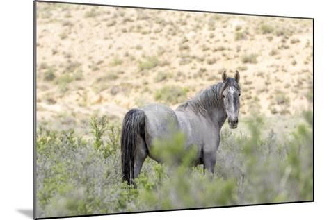 Colorado, Sand Wash Basin. Close-Up of Wild Horse-Jaynes Gallery-Mounted Photographic Print
