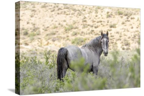 Colorado, Sand Wash Basin. Close-Up of Wild Horse-Jaynes Gallery-Stretched Canvas Print
