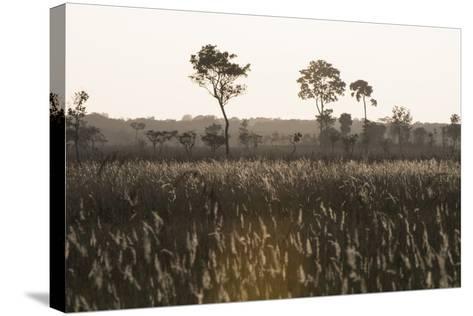 Savanna Rupununi, Guyana-Pete Oxford-Stretched Canvas Print
