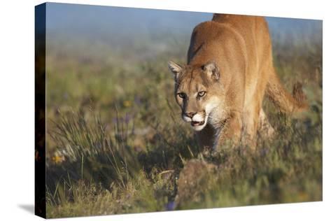Mountain Lion Walking Down the Hillside, Montana, Usa-Tim Fitzharris-Stretched Canvas Print