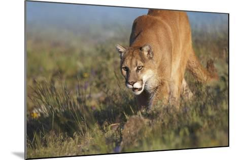 Mountain Lion Walking Down the Hillside, Montana, Usa-Tim Fitzharris-Mounted Photographic Print