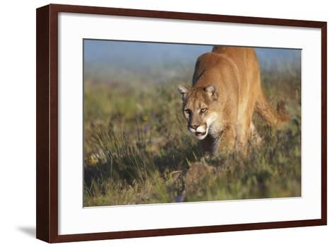 Mountain Lion Walking Down the Hillside, Montana, Usa-Tim Fitzharris-Framed Art Print