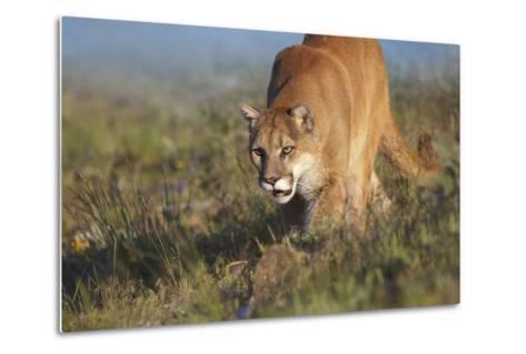 Mountain Lion Walking Down the Hillside, Montana, Usa-Tim Fitzharris-Metal Print