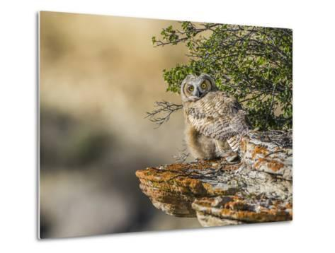 Wyoming, Sublette County, a Young Great Horned Owl Sits on a Lichen Covered Ledge-Elizabeth Boehm-Metal Print