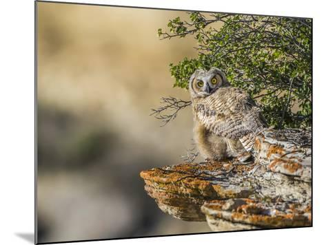 Wyoming, Sublette County, a Young Great Horned Owl Sits on a Lichen Covered Ledge-Elizabeth Boehm-Mounted Photographic Print