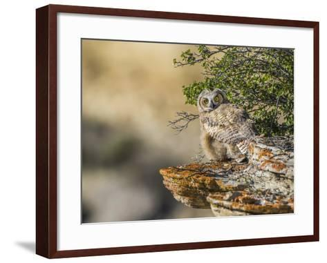 Wyoming, Sublette County, a Young Great Horned Owl Sits on a Lichen Covered Ledge-Elizabeth Boehm-Framed Art Print
