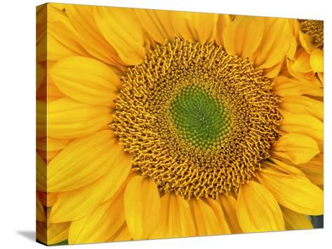 Sunflower Head-Tim Fitzharris-Stretched Canvas Print