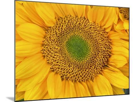 Sunflower Head-Tim Fitzharris-Mounted Photographic Print