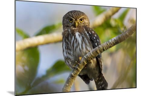 Brazil, Mato Grosso, the Pantanal, Ferruginous Pygmy Owl in a Tree-Ellen Goff-Mounted Photographic Print