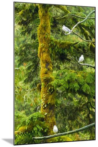 Canada, British Columbia, Inside Passage. Mew Gulls in Tree-Jaynes Gallery-Mounted Photographic Print