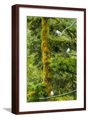 Canada, British Columbia, Inside Passage. Mew Gulls in Tree-Jaynes Gallery-Framed Art Print