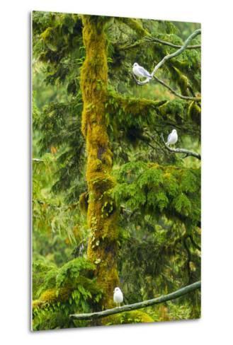 Canada, British Columbia, Inside Passage. Mew Gulls in Tree-Jaynes Gallery-Metal Print