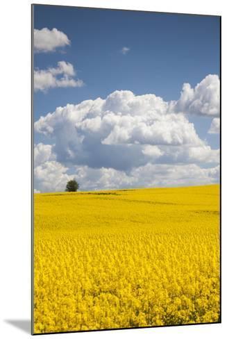 Denmark, Jutland, Odum, Rapeseed Field, Springtime-Walter Bibikow-Mounted Photographic Print