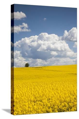 Denmark, Jutland, Odum, Rapeseed Field, Springtime-Walter Bibikow-Stretched Canvas Print