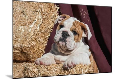 Bulldog Puppy Lying on Hay Bales-Zandria Muench Beraldo-Mounted Photographic Print