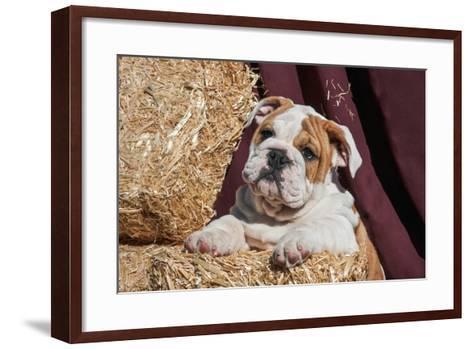 Bulldog Puppy Lying on Hay Bales-Zandria Muench Beraldo-Framed Art Print