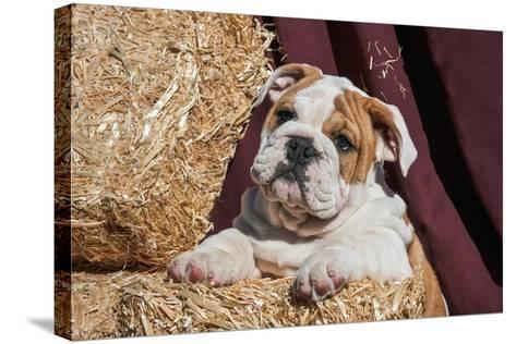 Bulldog Puppy Lying on Hay Bales-Zandria Muench Beraldo-Stretched Canvas Print