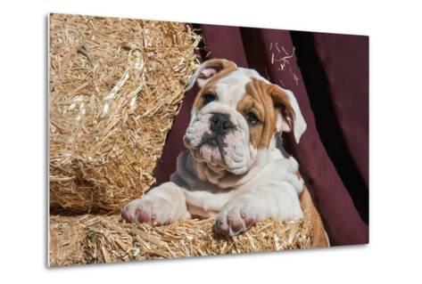 Bulldog Puppy Lying on Hay Bales-Zandria Muench Beraldo-Metal Print