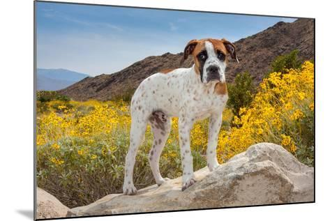 American Bulldog Puppy on Boulder Surrounded by Flowers-Zandria Muench Beraldo-Mounted Photographic Print