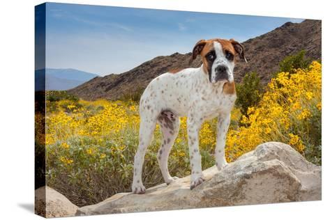 American Bulldog Puppy on Boulder Surrounded by Flowers-Zandria Muench Beraldo-Stretched Canvas Print