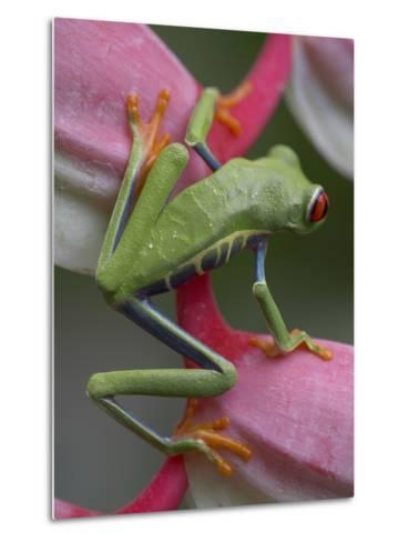 Red-Eyed Tree Frog, Costa Rica-Tim Fitzharris-Metal Print