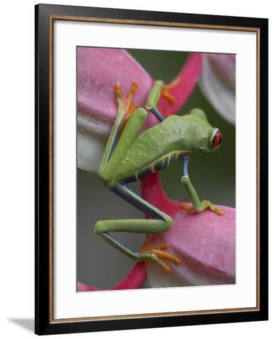 Red-Eyed Tree Frog, Costa Rica-Tim Fitzharris-Framed Art Print