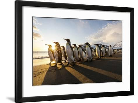 South Georgia Island, St. Andrew's Bay. King Penguins Walk on Beach at Sunrise-Jaynes Gallery-Framed Art Print