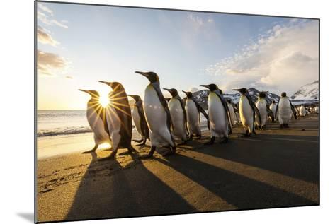 South Georgia Island, St. Andrew's Bay. King Penguins Walk on Beach at Sunrise-Jaynes Gallery-Mounted Photographic Print