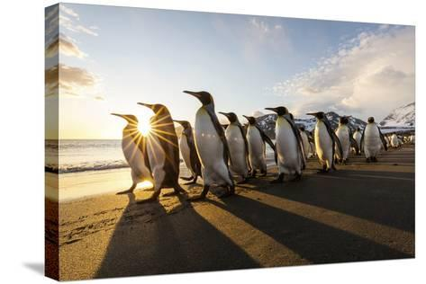 South Georgia Island, St. Andrew's Bay. King Penguins Walk on Beach at Sunrise-Jaynes Gallery-Stretched Canvas Print