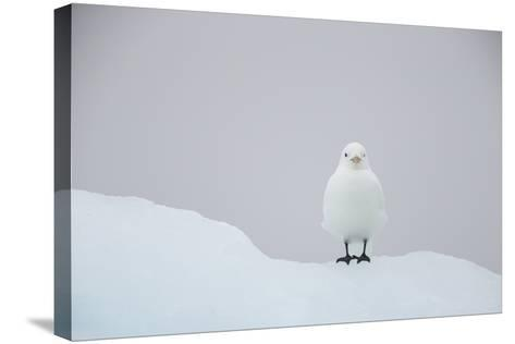 Europe, Norway, Svalbard. Ivory Gull Perched on Ice-Jaynes Gallery-Stretched Canvas Print