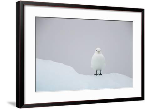 Europe, Norway, Svalbard. Ivory Gull Perched on Ice-Jaynes Gallery-Framed Art Print