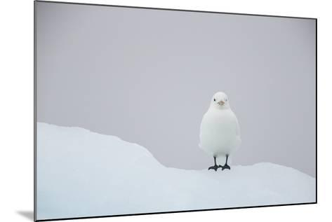 Europe, Norway, Svalbard. Ivory Gull Perched on Ice-Jaynes Gallery-Mounted Photographic Print