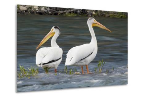 American White Pelicans-Ken Archer-Metal Print