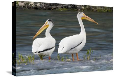 American White Pelicans-Ken Archer-Stretched Canvas Print
