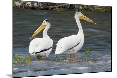 American White Pelicans-Ken Archer-Mounted Photographic Print