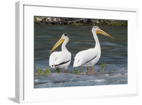 American White Pelicans-Ken Archer-Framed Art Print