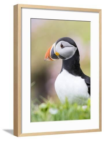 Atlantic Puffin. Scotland, Shetland Islands-Martin Zwick-Framed Art Print