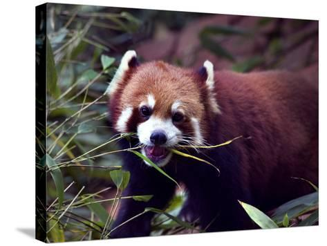 Red Panda Shining Cat Eating Bamboo, Chengdu, Sichuan, China-William Perry-Stretched Canvas Print