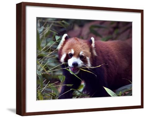 Red Panda Shining Cat Eating Bamboo, Chengdu, Sichuan, China-William Perry-Framed Art Print