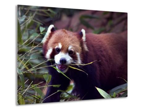 Red Panda Shining Cat Eating Bamboo, Chengdu, Sichuan, China-William Perry-Metal Print