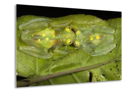 Glass Frogs, Ecuador-Pete Oxford-Metal Print