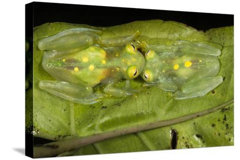 Glass Frogs, Ecuador-Pete Oxford-Stretched Canvas Print