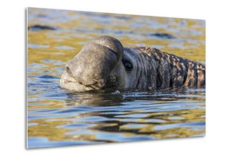 South Georgia Island, Godthul. Close-Up of Male Elephant Seal in Water-Jaynes Gallery-Metal Print