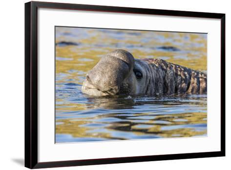 South Georgia Island, Godthul. Close-Up of Male Elephant Seal in Water-Jaynes Gallery-Framed Art Print