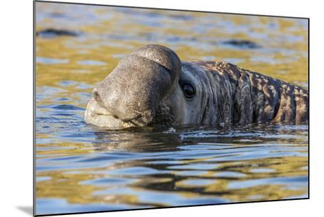 South Georgia Island, Godthul. Close-Up of Male Elephant Seal in Water-Jaynes Gallery-Mounted Photographic Print