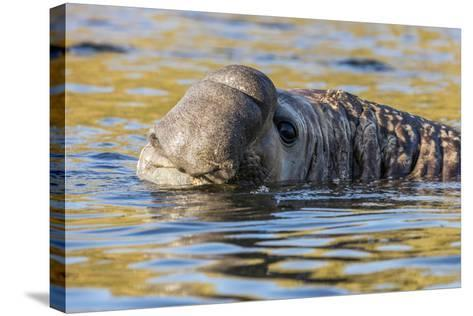 South Georgia Island, Godthul. Close-Up of Male Elephant Seal in Water-Jaynes Gallery-Stretched Canvas Print