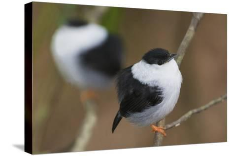 White-Bearded Manakin-Ken Archer-Stretched Canvas Print