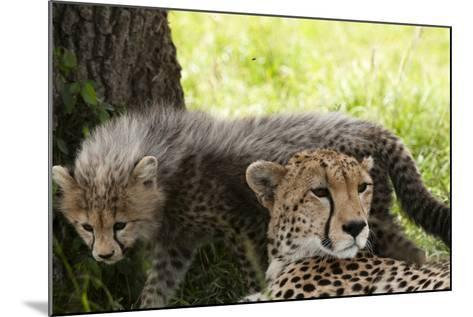 Cheetah and Cub, Masai Mara, Kenya-Sergio Pitamitz-Mounted Photographic Print