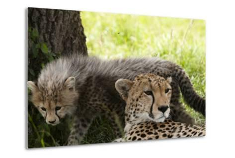 Cheetah and Cub, Masai Mara, Kenya-Sergio Pitamitz-Metal Print