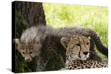 Cheetah and Cub, Masai Mara, Kenya-Sergio Pitamitz-Stretched Canvas Print
